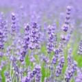 img_lavender_bath_04